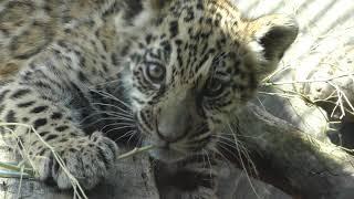 ジャガーの赤ちゃん『ハク』 (わんぱーくこうちアニマルランド) 2018年3月24日
