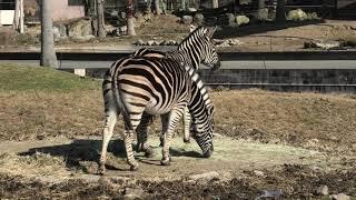 Chapman's zebra (ADVENTURE WORLD, Wakayama, Japan) January 18, 2020