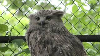Blakiston's fish owl (Kushiro City Zoo, Hokkaido, Japan) July 4, 2019