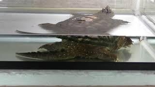 カミツキガメ (仙台市八木山動物公園/セルコホーム ズーパラダイス八木山) 2018年1月20日