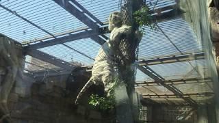 ホワイトタイガーの木登り (東武動物公園) 2017年5月20日