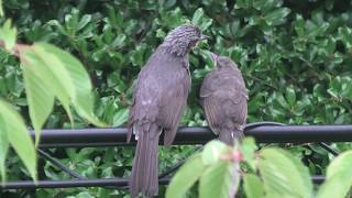 Brown-eared Bulbul parent and child (Hyogo, Japan) June 19, 2020