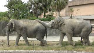 インドゾウ の『ラウナ』と『アンリー』 (鹿児島市 平川動物公園) 2019年4月17日