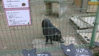 ミニブタ (大牟田市動物園) 2019年4月19日