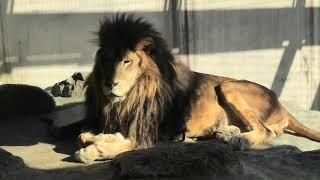 ライオン の『ラオ』と『サクラ』 (神戸市立王子動物園) 2019年11月8日