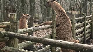 ラマ (くじゅう自然動物園) 2019年12月6日