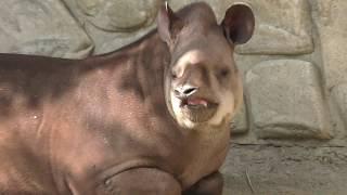 ブラジルバク の『ハナ』と『プーロ』 (甲府市遊亀公園付属動物園) 2018年9月23日