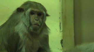 類人猿舎の アカゲザル たち (京都市動物園) 2020年9月1日