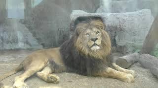 ライオン の『サン』と『クリア』 (熊本市動植物園) 2019年4月18日