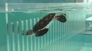 ウミガメ水槽 (碧南海浜水族館) 2019年11月2日