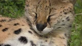 サーバルキャットの『ユカ』 (愛媛県立とべ動物園) 2018年3月25日