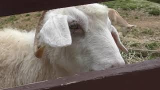 アンゴラヤギ Angora goat