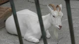 Goat (Hakodate Park, Hokkaido, Japan) August 9, 2019