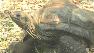 Aldabra giant tortoise (TENNOJI ZOO, Osaka, Japan) June 25, 2021