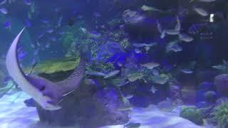 エイ (名古屋港水族館) 2017年11月18日