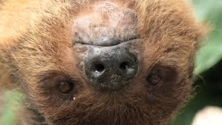 Linnaeus's two-toed sloth (KOBE ANIMAL KINGDOM, Hyogo, Japan) April 23, 2021