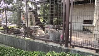 マントヒヒ (愛媛県立 とべ動物園) 2019年12月25日