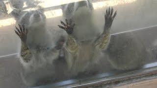 アライグマ に餌やり体験 (長崎バイオパーク) 2019年4月21日