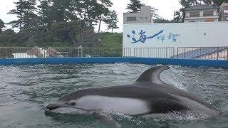 カマイルカ (越前松島水族館) 2019年8月19日
