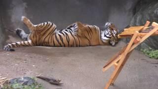 野生を失ったベンガルトラ (日立市かみね動物園) 2017年10月21日