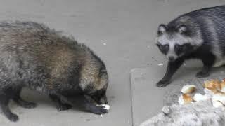 ホンドタヌキ (茶臼山動物園) 2018年11月4日