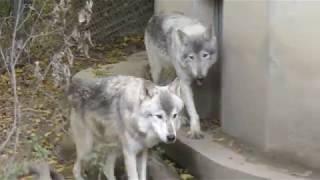 シンリンオオカミ の『ベクトル』と『サクラ』 (群馬サファリパーク) 2018年11月10日