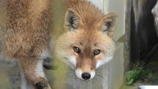 Japanese Red Fox (TOBE ZOOLOGICAL PARK OF EHIME PREF., Ehime, Japan) December 25, 2019