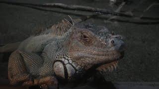 グリーンイグアナ (カワスイ 川崎水族館) 2020年9月16日