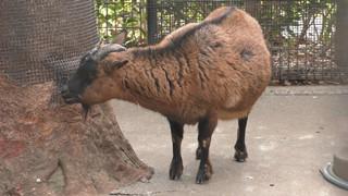 ヤクシマヤギ Yakushima goat