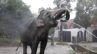 『インドゾウ』飼育係のとっておきタイム (よこはま動物園ズーラシア) 2017年11月23日