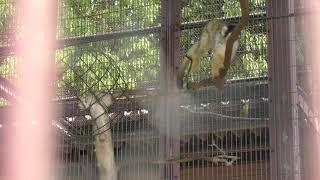 Squirrel Monkey (Kurume Bird Center, Fukuoka, Japan) April 19, 2019