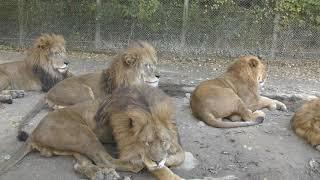 ライオン (群馬サファリパーク) 2018年11月10日