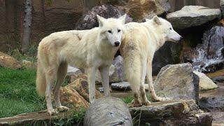 ホッキョクオオカミ (那須どうぶつ王国) 2020年9月14日