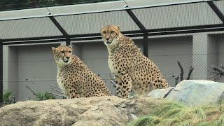 チーター の『アジャブ』と『アイワ』 (千葉市動物公園) 2020年9月17日