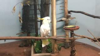 コキサカオウム(上野動物園) 2017年8月9日