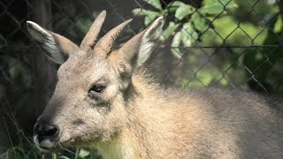 オナガゴーラル の『ホンホン』 (京都市動物園) 2020年9月1日