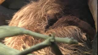 フタユビナマケモノのほっこりちゃん (京都市動物園) 2017年11月5日