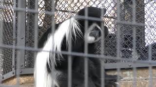 アビシニアコロブス (野毛山動物園) 2017年12月16日