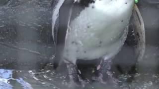フンボルトペンギン (大内山動物園) 2018年1月3日