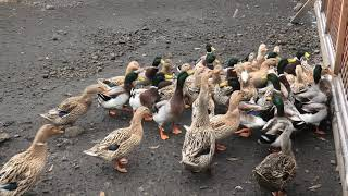 水鳥池 (国立公園 九重やまなみ牧場) 2019年12月6日