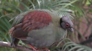 Crested Partridge (KOBE ANIMAL KINGDOM, Hyogo, Japan) September 28, 2020
