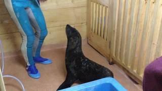 ミナミアフリカオットセイの「あおば」と「みやび」 (京都水族館) 2017年11月5日