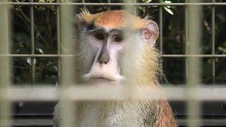 パタスザル (千葉市動物公園) 2020年9月17日
