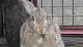 カイウサギ (茶臼山動物園) 2018年4月15日