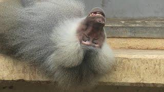 マントヒヒ (東武動物公園) 2020年9月18日