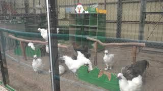 Silky Fowl (Hakodate Park, Hokkaido, Japan) August 9, 2019