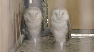 メンフクロウ (久留米市鳥類センター) 2019年4月19日