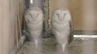 Barn Owl (Kurume Bird Center, Fukuoka, Japan) April 19, 2019