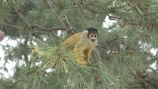 Black-capped Squirrel Monkey (Uminonakamichi Seaside Park, Fukuoka, Japan) April 24, 2019