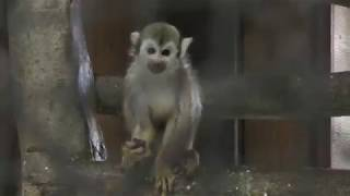 Common Squirrel Monkey (Nasu World Monkey Park, Tochigi, Japan) December 7, 2018